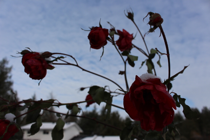 winter, nature, snow, roses, Christmas